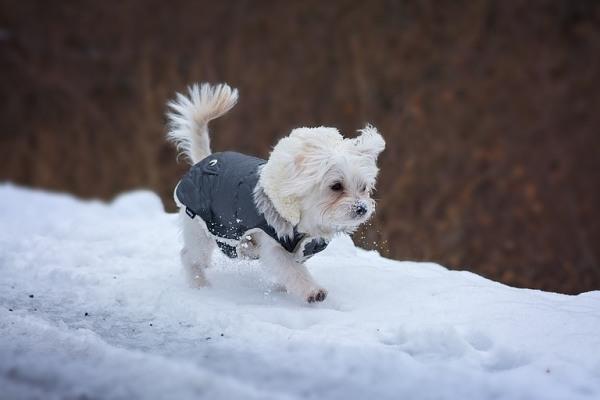 Pes a sneh
